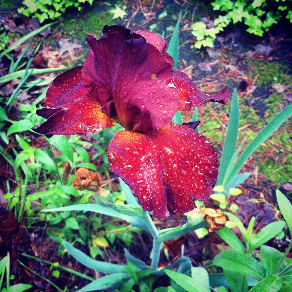 Meme's Irises are so fancy after the rain.